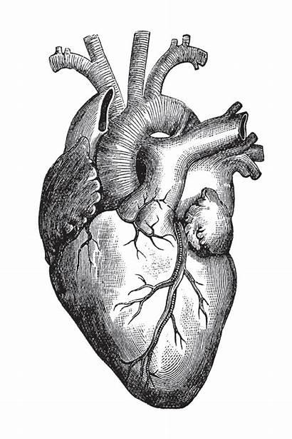 Heart Beating Change Human Drawing Drawings Realistic