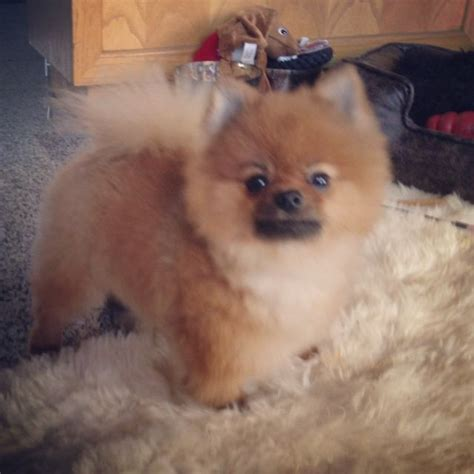 images  pomeranian hair cuts  pinterest