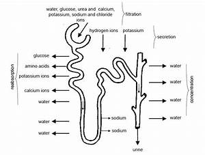 Anatomy And Physiology Of Animals  Urinary System
