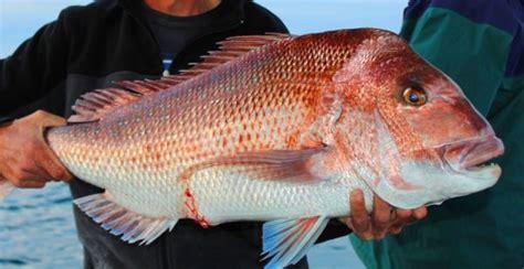 species  fish fishing australia