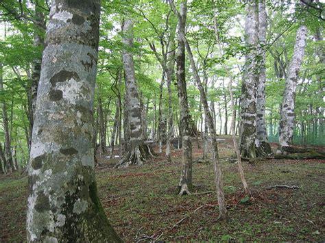 fagus crenata tree seeds japanese beech siebolds