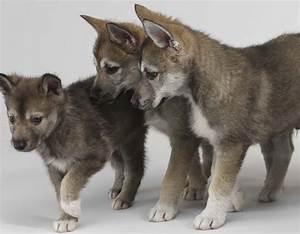 Tamaskan dogs photo and wallpaper. Beautiful Tamaskan dogs ...