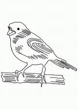 Canary Coloring Bird Pages Sketch Popular Coloringhome sketch template