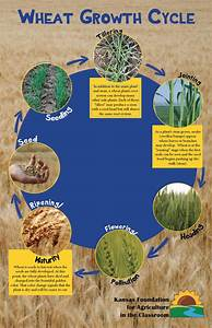 Wheat Growth Stages  U2013 Kansas Foundation For Agriculture In