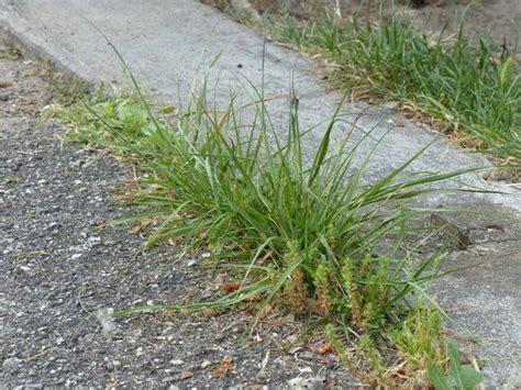 comment arracher les mauvaises herbes comment arracher les mauvaises herbes 28 images comment ameublir le potager comment 233