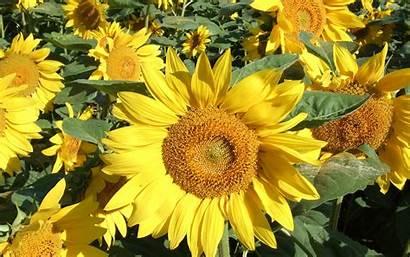Wallpapers Sunflower Yellow Sunflowers Desktop Flowers Background