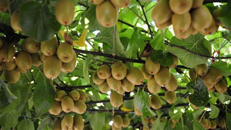 fruit kiwi gaining traction in chilton county living