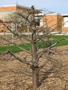 Expert U2019s Tip  Pruning Apple Trees  U2013 Master Gardener Program