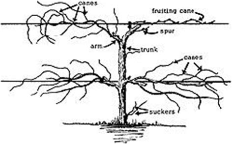 how to prune concord grapes pruning and training grape vines lawn and garden pinterest missouri grape vines and