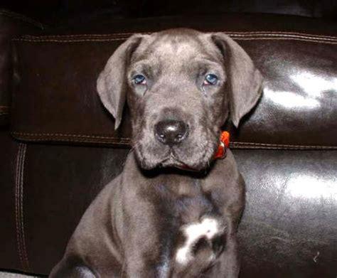 cute dogs blue great danes