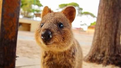 Quokka Things Super Animals Australia Know Happy