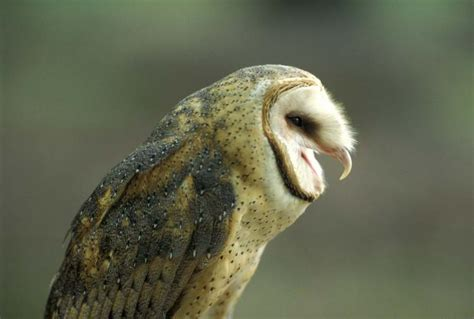 barn owl mdc discover nature