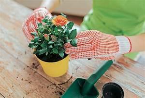 Rosen Im Topf Pflege : rosen richtig pflanzen rosen pflanzen wir lieben rosen ~ Lizthompson.info Haus und Dekorationen