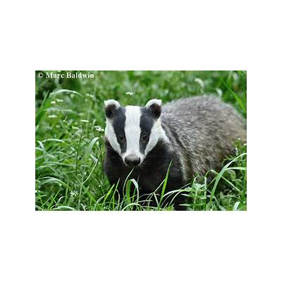 Wildlife Online - Natural History of the European Badger