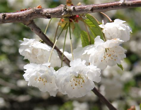 Free Images : branch white fruit flower food spring