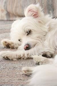 Maltese and a Yorkshire Terrier - AllMutt.com