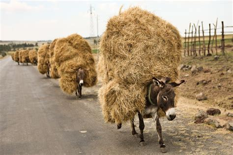 Donkeys Hauling Hay in Ethiopia | This photo was taken in ...