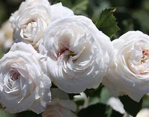 Boule De Rose : 39 boule de neige 39 rose white bourbon historic rose ~ Teatrodelosmanantiales.com Idées de Décoration