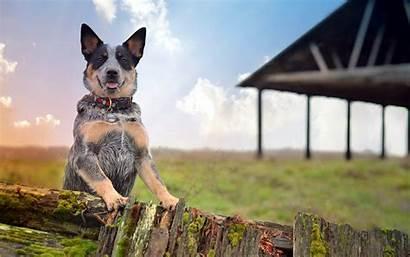 Heeler Dog Australian Cattle Farm Dogs Queensland