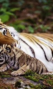 Interesting facts about the Bengal tiger | Just Fun Facts