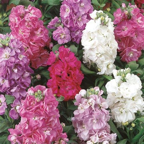 stock plant good witches magickal flowers and herbs stock