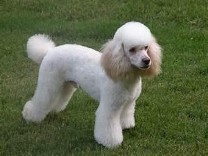 New Moyen Poodle Puppy how big do yo think she'll get? DoodleKisses