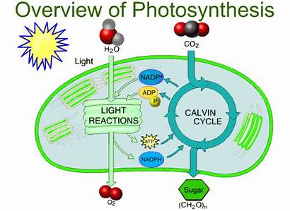 Photosynthesis Overview Biology Respiration Cellular Bacteria Diagram