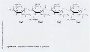 Lysozyme  Substrate Structure