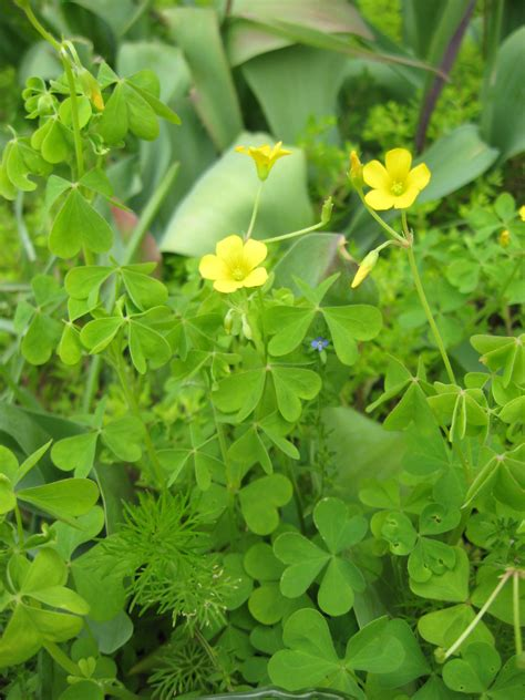 weeds with yellow flowers yellow woodsorrel one of the quot good weeds quot