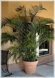 Bambus Pflege Zimmerpflanze : baldur garten winterharte k bel palmen 1 pflanze trachycarpus fortunei haben will ~ Frokenaadalensverden.com Haus und Dekorationen