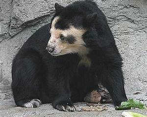 Spectacled Bear - Facts, Diet & Habitat Information