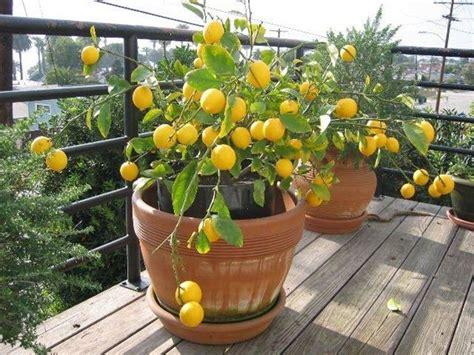 Concime Limoni In Vaso by Concimeazione Limoni Concime