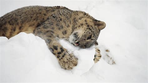 Animals In Snow Wallpaper - animals snow hugging snow leopards wallpapers hd