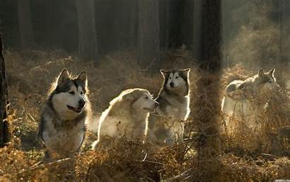 Loyalty Wolves Malamute Mind Trees Forest Dogs