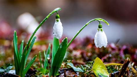 Snowdrops Wallpapers High Quality