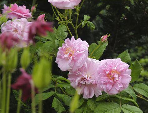 meine gruene leidenschaft beginn der rosenbluete