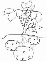 Verdura Malvorlagen Kartoffel Kartoffeln Ausdrucken Erntedankfest Coloringpagebook Experimente Ausmalen Herbstzeit Tô Màu Sketchite Fruit Coloringpages101 Potato1 sketch template