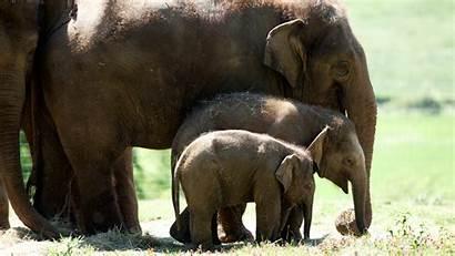 Elephants Zsl Zoo Whipsnade Elephant Animal London