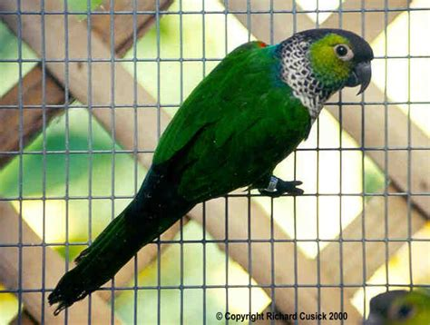 black capped conure black cap conure image search results