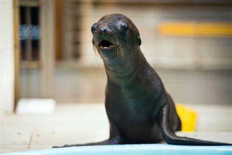 pup date  baby sea lion     houston zoo