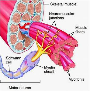 Physio Health  What Is A Motor Unit