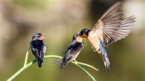 do parent and baby birds recognize each other s songs or