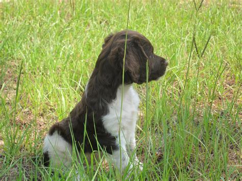 French Brittany dog in the grass photo and wallpaper ...