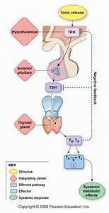 My Biomedical Notebook  Endocrinology  Hormones