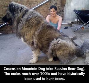 The Gigantic Russian Bear Dog | Dog funnies, Funny images ...