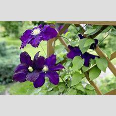 Gardening Want Eyepopping Clematis Blooms? Follow This