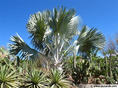 cuisiner du gibier palmier de bismarck bismarckia nobilis conseils de culture