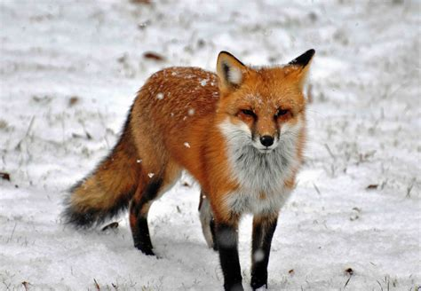 The Red Fox (vulpes Vulpes)  Pgcps Mess  Reform Sasscer