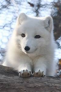 An Arctic Fox Pup With An Infectious Smile   Aww