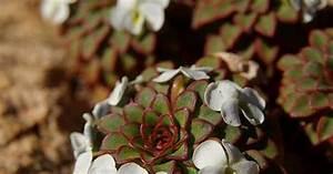 Welche Blumen Blühen Im Mai : viola succulus kaktus pflanzen und stiefm tterchen ~ Eleganceandgraceweddings.com Haus und Dekorationen